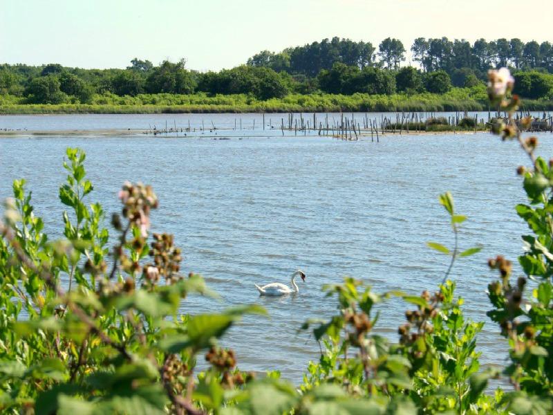 Au Teich, comme un oiseau sur le sentier du littoral - Parcourez le Delta de la Leyre en empruntant le sentier du littoral qui borde la Réserve Ornithologique et découvrez des paysages qui changent au fil des marées et des saisons. De nombreuses espèces d'oiseaux viennent s'abriter, nicher ou se nourrir dans cet espace protégé. Partez à leur rencontre, observez les et laissez vous séduire par leur nature.